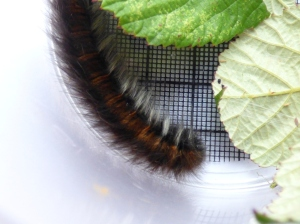 Fox Moth (Macrothylacia rubi) caterpillar