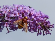Hornet hoverfly (Volucella zonaria)