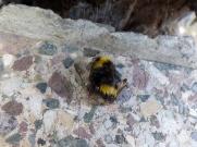 Dead bumblebee (Bombus)