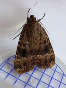 (Svensson's?) Copper Underwing