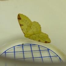 Brimstone moth (Opisthograptis luteolata)