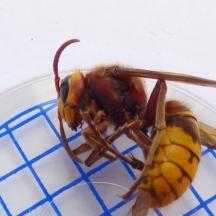 Dead Hornet (Vespa crabro) - found dead in the centre