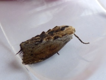 Greater Wax moth (Galleria mellonella)