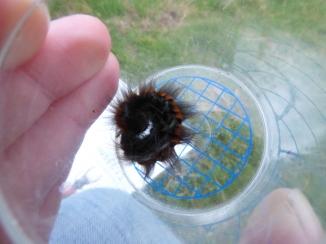 Fox moth caterpillar (Macrothylacia rubi)