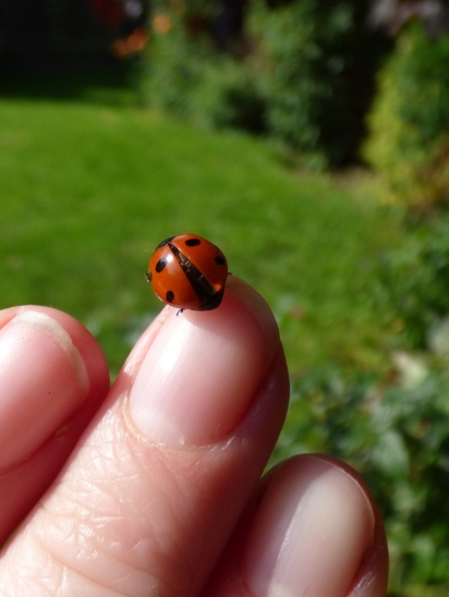 7-spot Ladybird (Coccinella 7-punctata), thinking about going