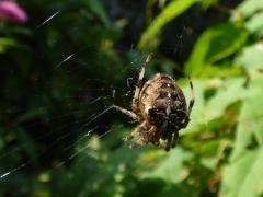Garden Spider (Araneus diadematus)