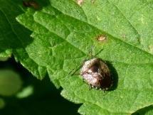 Woundwort Shieldbug (Eysarcoris venustissimus), very shiny!