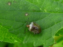 Woundwort Shieldbug (Eysarcoris venustissimus), only about 5-6mm long!