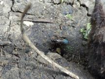 Small Hymenoptan investigating the dead shrew