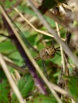 Migrant Hawker dragonfly, female (Aeshna mixta)