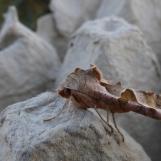 Angle Shades (Phlogophora meticulosa) at PBO