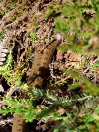 Smooth Snake (Coronella austriaca)?