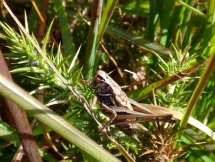 Bog Bush-Cricket (Metrioptera brachyptera)