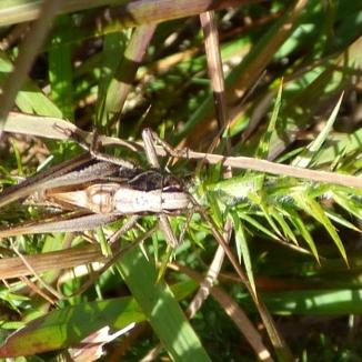 Bog Bush-Cricket (Metrioptera brachyptera)