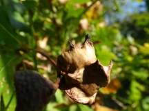 Knopper Gall (Andricus quercuscalicis)