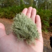 A handful of lichen - very satisfying to hold