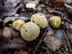 Common Puffball (Lycoperdon perlatum)?