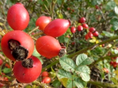 Rosehips on Dogrose (Rosa canina)
