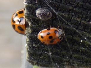 Ten-Spot Ladybird (Adalia 10-punctata, f.decempunctata)