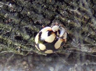 Ten-Spot Ladybird (Adalia 10-punctata, f.decempustulatus)