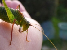Speckled Bush-Cricket (Leptophyes punctatissima)