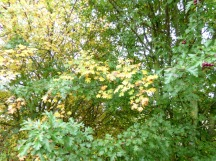 Hawthorn (Crataegus monogyna) - yellow and green leaves on neighbouring trees