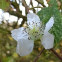 Bramble in flower!