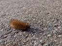 Ruby Tiger Moth caterpillar (Phragmatobia fuliginosa)