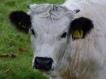 White Park calf