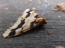 Mottled Umber moth (Erannis defoliaria)