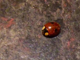 Two-spot Ladybird (Adalia bipunctata)