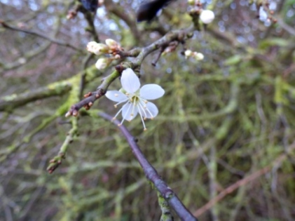 Blackthorn flower (Prunus spinosa)