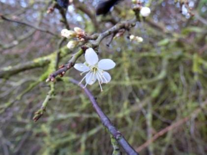 Blackthorn flower (Prunus spinosa)