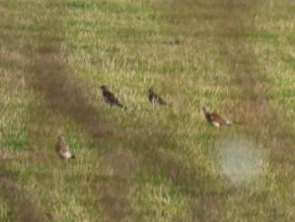 Fieldfares (Turdus pilaris)