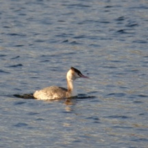 Great Crested Grebe, in non-breeding plumage (Podiceps cristatus)