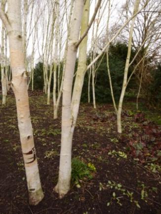 Silver Birch (Betula pendula) in the Winter Walk
