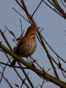 Song Thrush (I think)