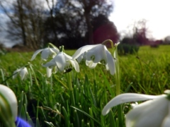 Snowdrop at Wimpole