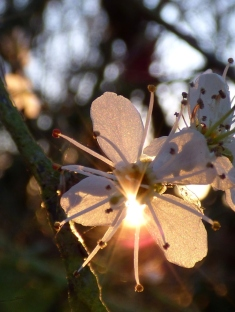 Blackthorn flowers (Prunus spinosa)