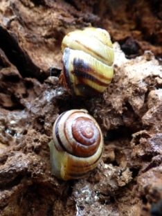Brown-lipped (top) and White-lipped (bottom) Snails, Cepaea nemoralis and Cepaea hortensis