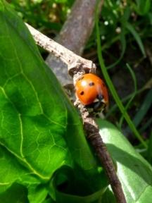 7-spot Ladybird, Coccinella 7-punctata