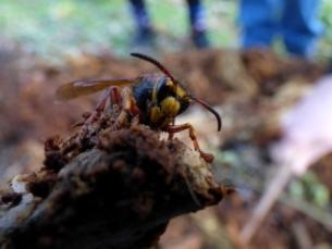 Median Wasp queen, Dolichovespula media, looks similar to Hornet