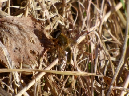 Hoverfly, Eristalis pertinax