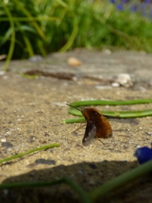 Dark-edged Beefly (Bombylius major)