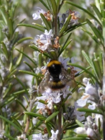 Early Bumblebee (Bombus pratorum)