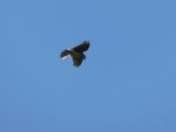 Skylark (Alauda arvensis)