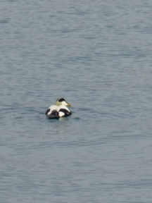 Eider Duck (Somateria mollissima)