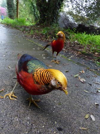 Golden Pheasants (Chrysolophus pictus)