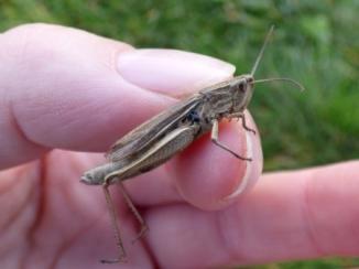 Lesser Marsh Grasshopper (Chorthippus albomarginatus)