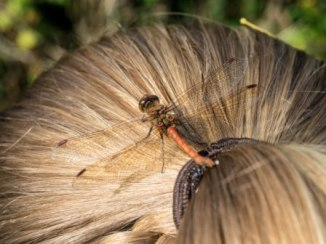 Common Darter Dragonfly (Sympetrum striolatum) (c) Andrew Kerwick-Chrisp
